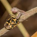 rape bug
