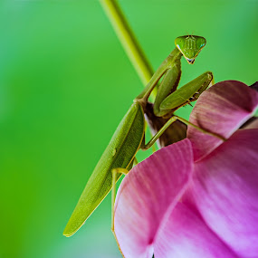 Grasshopper by Dian Anugrah - Animals Insects & Spiders ( color, insect, makro )