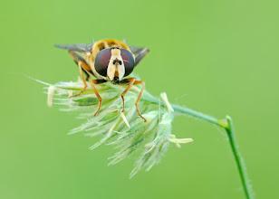 Photo: Helophilus trivittatus  http://lepidoptera-butterflies.blogspot.com/
