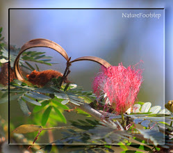Photo: CALLIANDRA HAEMATOCEPHALA - Red Powder Puff flower NF Photo 110204 in Ortina,Costa Rica http://nfbild.blogspot.com/2011/02/nf-macro-23-in-costa-rica.html http://nfbild2.blogspot.com/2011/02/nf-macro-23-in-costa-rica.html