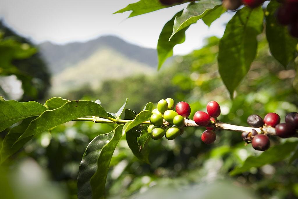 Botany characteristics of robusta coffee