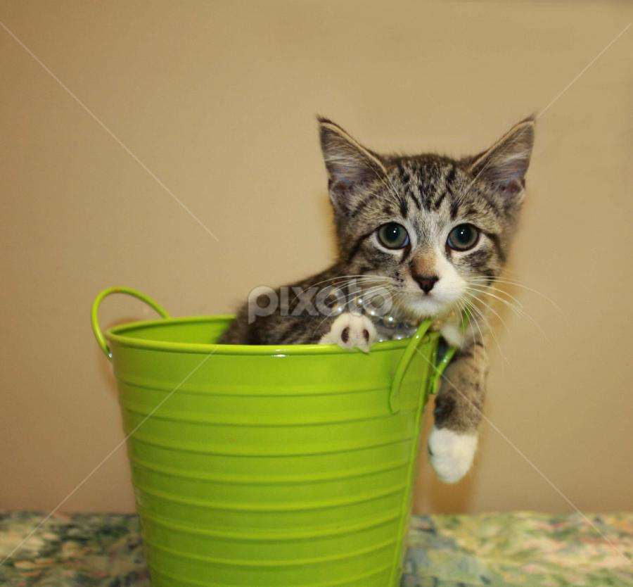 Ozzie by Sharon Scholtes - Animals - Cats Portraits ( cat, kitten, green, bucket, feline, tabby )