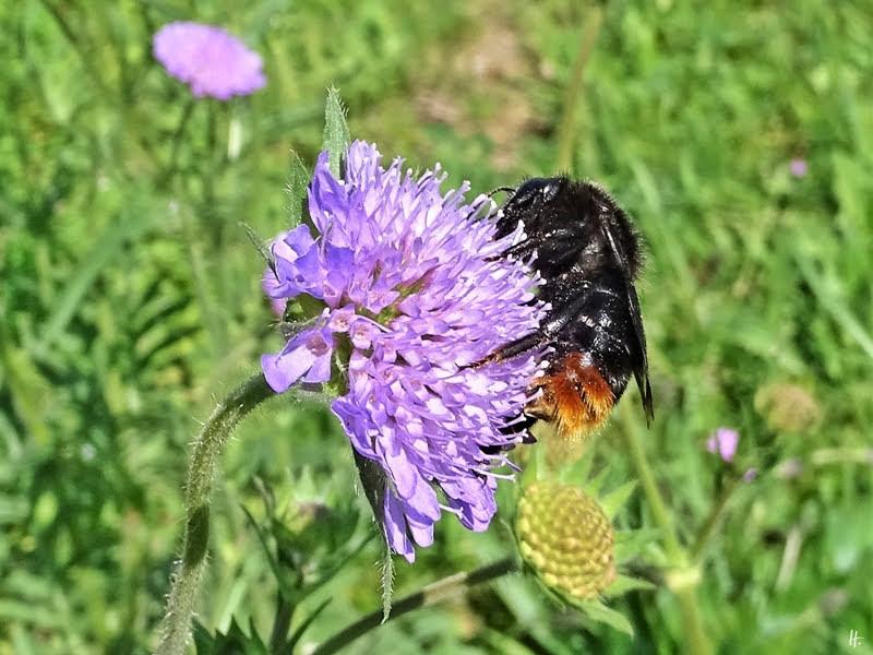 2019-05-23 LüchowSss Garten Acker-Witwenblume (Knautia arvensis) + Felsen-Kuckuckshummel (Bombus rupestris)