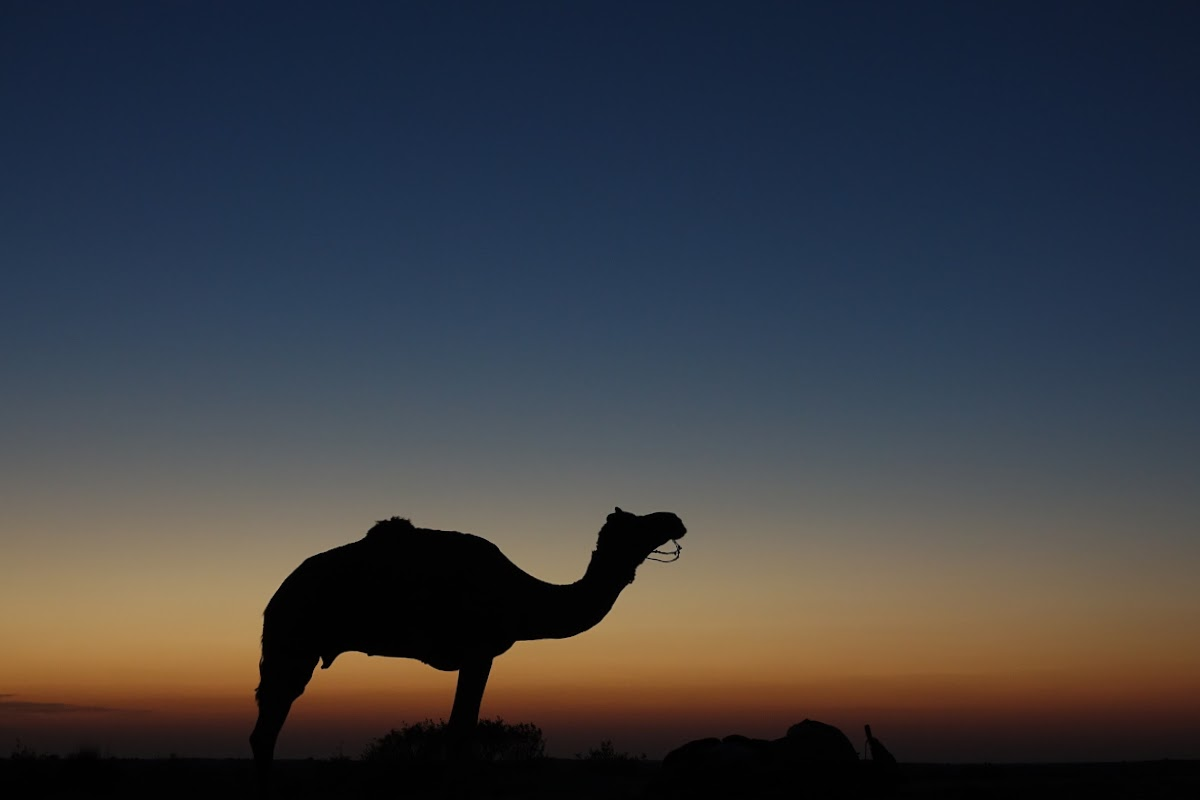 India. Rajasthan Thar Desert Camel Trek. Camel Shadow