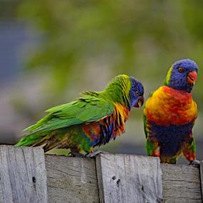 Rainbow Lorikeet & baby by Reinilda Sissons - Animals Birds (  )