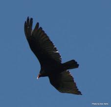 Photo: (Year 2) Day 357 - Turkey Vulture (Again!) #3