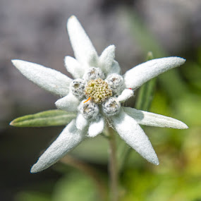 Edelweiss (Leontopodium nivale) by Waldemar Dorhoi - Flowers Flowers in the Wild