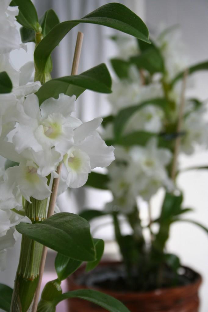 Orchidea vanitosa di gegge