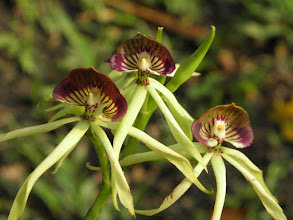 Photo: Black Orchid, the official flower of Belize