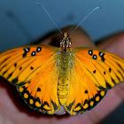 Passion butterfly/Gulf fritillary