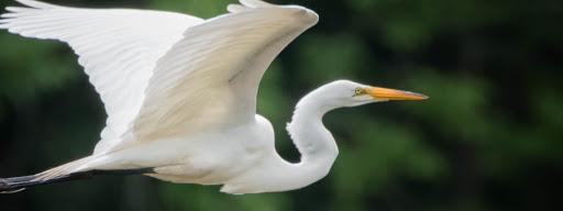 Great Egret (Ardea alba), , Park Ile Bizard, Montreal, 2017/07/02