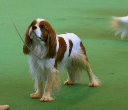 Photo: At Crufts 2007 (1,5 years old)