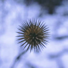 Winter on by Paul Voie - Nature Up Close Trees & Bushes ( close up, spikes, canon eos, bokeh, winter )