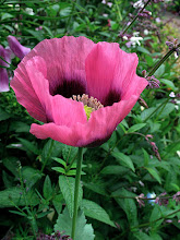 Photo: pink breadseed poppy