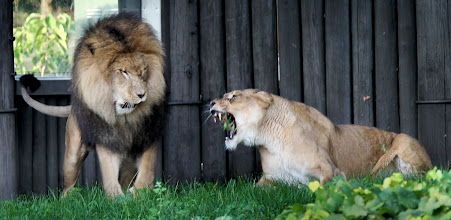 Photo: Moufasa, left, walks near Nala, right, one of two new female lions at the Cleveland Metroparks Zoo, Sept. 7. Zoo workers have been getting the females, Nala and Serena, adjusted to the lone male lion in the past month. (Marvin Fong, The Plain Dealer)
