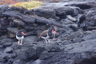 Photo: Oyster Catcher