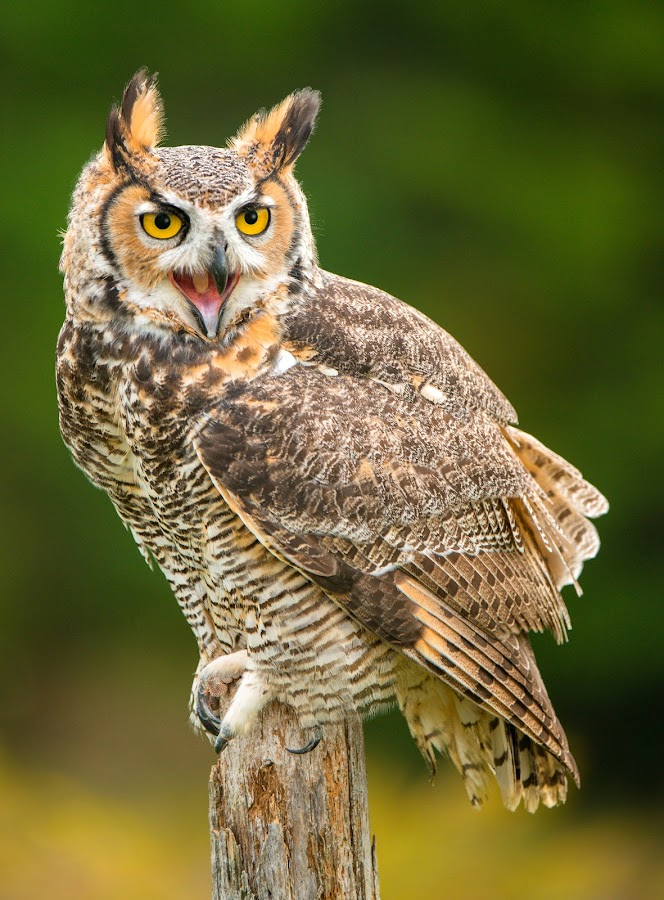 Annoyed with the photographers by Peter K. Burian - Animals Birds ( bird, bird of prey, owl, raptor, great horned owl,  )
