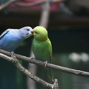 Kissing Bird by Awaludin Aw - Animals Birds
