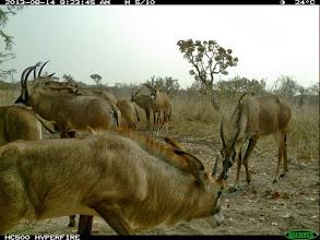 Photo: The mostprolific roan herd A mais produtiva manada de palancas vermelhas