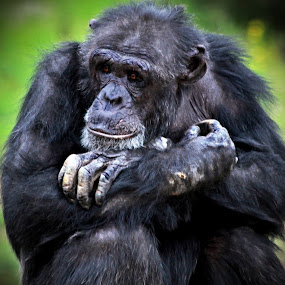 Chimpanzee by Deb Thomas - Animals Other Mammals ( monarto zoo sept 2013,  )