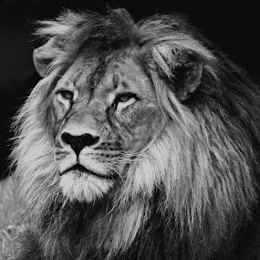 Mujambi by Deb Thomas - Animals Lions, Tigers & Big Cats ( lion, headshot, black and white )