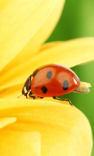 Ladybug On Yellow Flower LWP