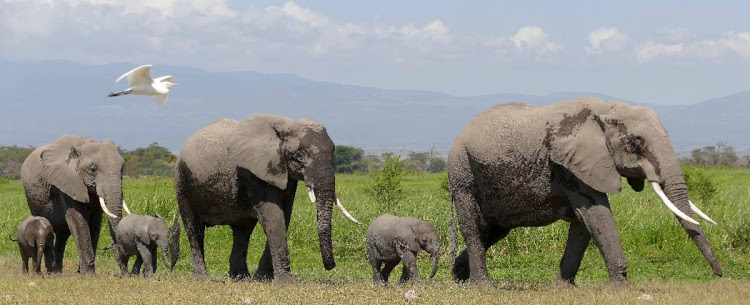JUMBO BOOM: Elephants and their calves at Amboseli.