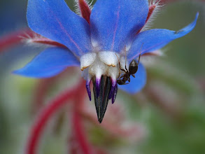 Photo: Borago officinalis