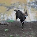 Bushbuck (male)
