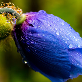 Blue heaven by Geir Hammer - Nature Up Close Flowers - 2011-2013 ( water, macro, blue, heaven, drops, flowers, rain, top, tears )