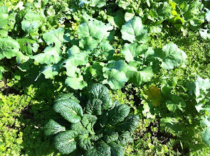 Photo: のらぼう菜やタァツァイ。