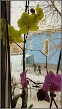 Photo: Orhidee (Orchidaceae) de la geamul meu - 2018.03.02