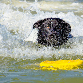 Swimming For The Prize by Meaghan Browning - Animals - Dogs Portraits ( waves, beach, german shepherd, dog, swimming )