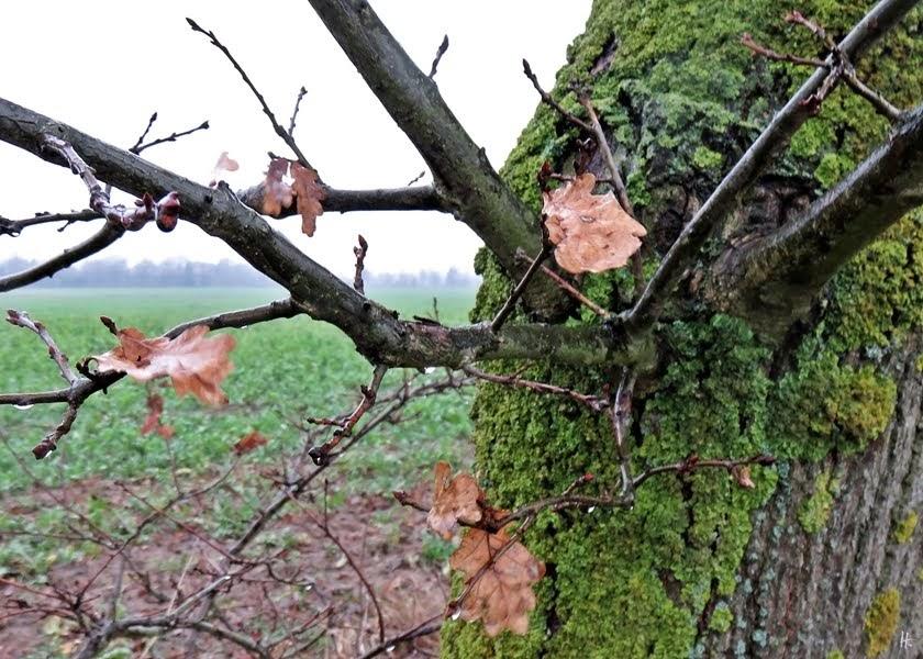 2019-01-11 bei Lüchow - Spaziergang im Regen - flechtenbedeckte Eiche