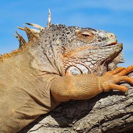 Iguana by Nancy Young - Animals Reptiles ( iguana, scaly skin, tree, animal, climbing )