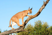 Of the species studied, caracals were found to be the most exposed to rat poisons.