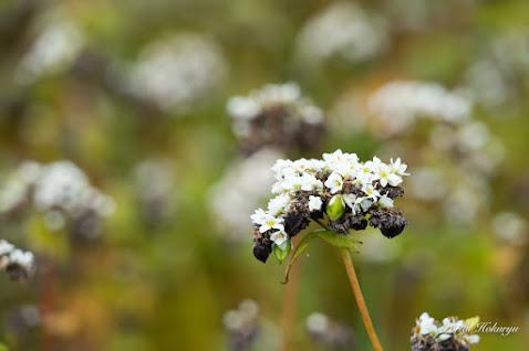 白い花から黒い実がこぼれる