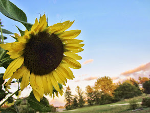 Photo: Sunset sunflower at Cox Arboretum and Gardens of Five Rivers Metroparks in Dayton, Ohio.