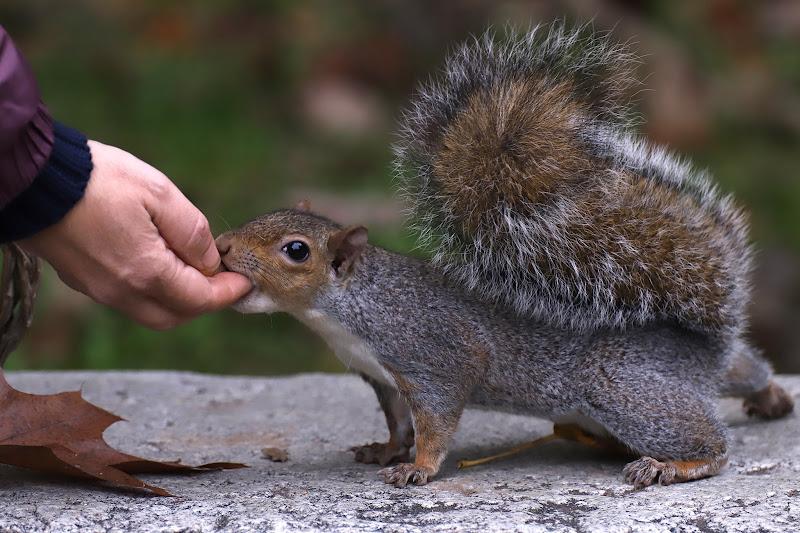Lo scoiattolo affamato di emanuela_grandi