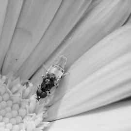 Fly on Flower by Fok Vleeshakker - Black & White Macro ( fly, vlieg, bloem, flower, blach en white )