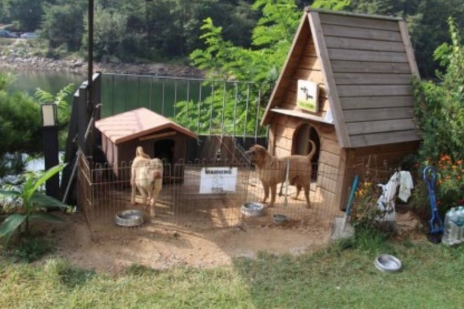 gdragon sharpei dogs 6