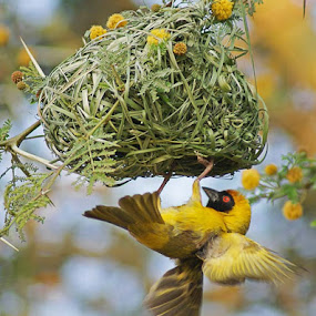Weaver and nest by Elsa van Dyk - Animals Birds