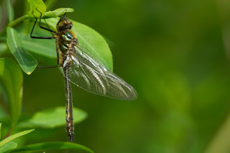 Photo: De Wieden, Smaragdlibel