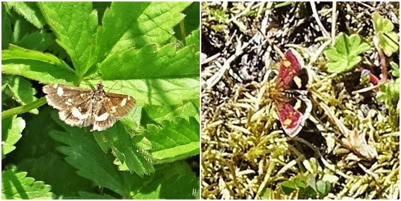 2019-05-12+21 LüchowSss Garten 2x Goldzünsler (Pyrausta aurata)