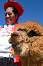 Photo: Llama (or is it an Alpacha)?