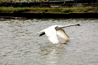 Photo: Day 27 - Swan Taking Off