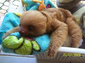 Photo: Young two toed sloth arrived last week, he fell from his mom and now we are raising him. He is a bit older therefore eats more leaves and flowers and doesn't drink milk anymore