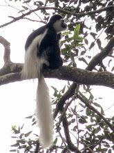 Photo: Colobus monkey