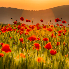 Dreaming in a field of poppies by Adrian Urbanek - Flowers Flowers in the Wild