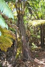 Photo: nella foresta verso il Kilauea Iki Trail